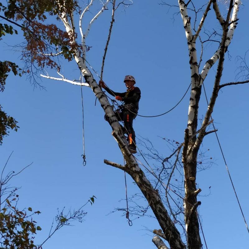 Срезание и удаление деревьев. Костомукша.